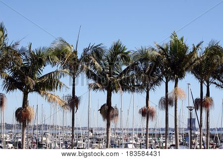 A row of palm trees with masts and boats in background