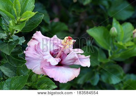Beautiful pink hibiscus flower showing a yellow and red stamen in the center set against green leaves.