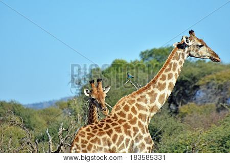 Picture of 2 giraffes in Madikwe game reserve, South Africa.