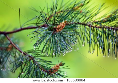 Branch of pine-tree with young cone and rain drops on needles on blurred background.