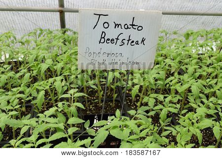Beefsteak tomato seedlings offered at a garden nursery for sale.