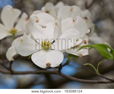 A grouping of dogwood flowers with a blurred backgound