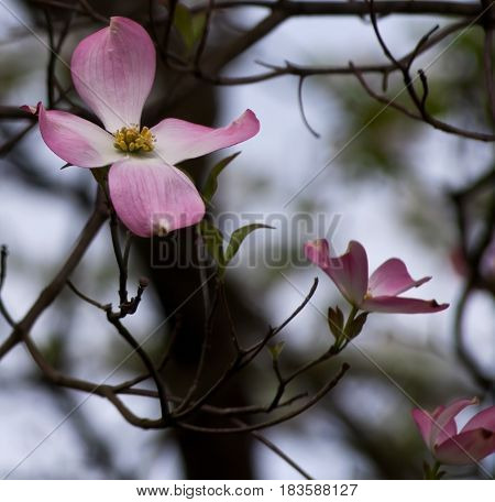 Pink dogwood flowers with a blurred background