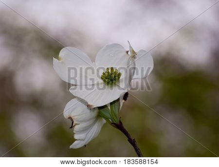 Two beautiful white dogwood flowers with a blurred background