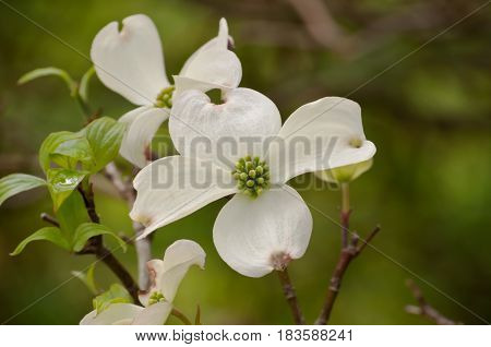 Two white dogwood flowers with a blurred green background