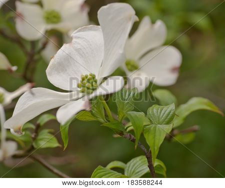 Pretty white dogwood flowers with green leaves