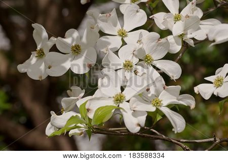 Grouping of dogwood flowers in the sun with shadows and a blurred background