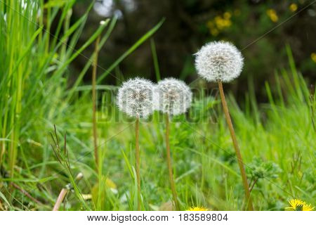 Close-up of Dandelions on a green Meadow. Dandelions on a Field. Plants in Spring. Grassland with Dandelions