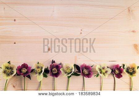 Vintage background with lenten roses or hellebore flowers in a row on wooden