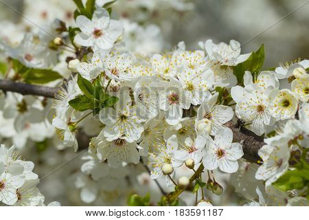 White cherry blossoms with green leaves in mid april
