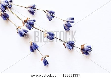 Natural purple lavender flowers brunch over white background