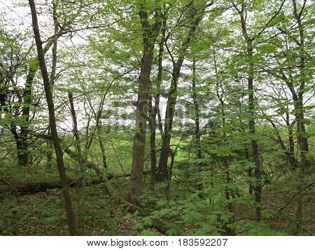 Colorful shades of green of various oak trees along the bluffs in  Starved Rock State Park.