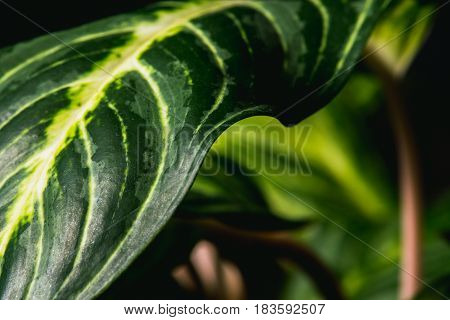 Close Up Abstract Of Stripey Leaves Of An Indoor Plant