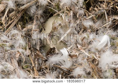 Mute swan (Cygnus olor) egg in nest. One large egg of nine hidden by feathers while parent birds are absent from incubation