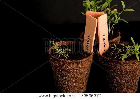 Peat pots of seedlings on a black background. PARSLEY THYME CILANTRO. THE STYLISH WOODEN PLANT LABELS. With copy space