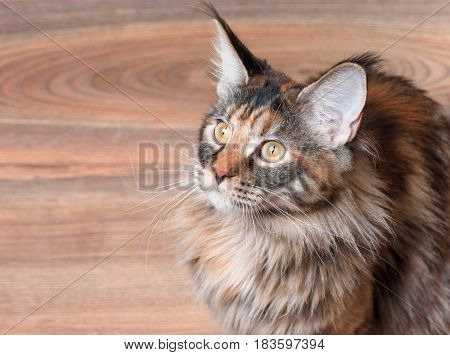 Fluffy tortoiseshell kitty sitting on a floor. Portrait of domestic Maine Coon kitten, top view point. Playful beautiful young cat looking upwards.