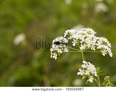 A Clear And Crisp Day Time Shot Of A Large And Detailed Black Fly Resting Upon And Eating Some Cow P