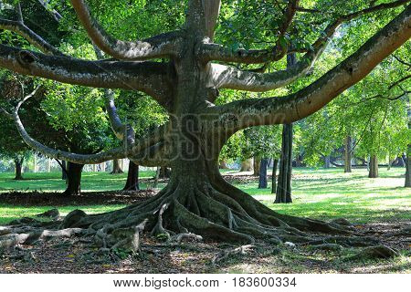 big ficus tree in garden, Sri Lanka