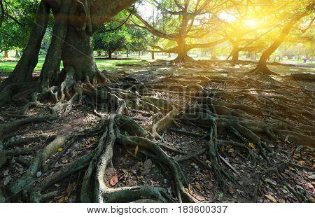 roots of big ficus tress in park, Sri Lanka
