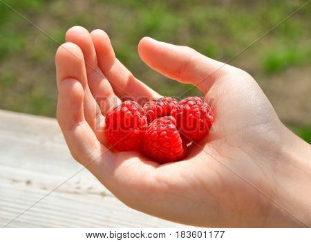 Close up view of human hand holding ripe raspberries, person presenting first harvest of red summer berries over nature background, healthy food concept.