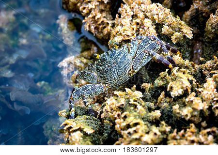 Little crab among the corals on the sea