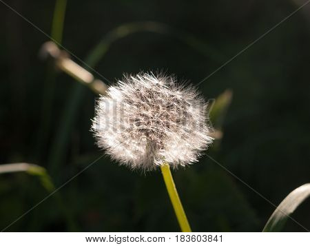 A Beautiful White Dandelion Sharp And Clear Detail Focused In Spring