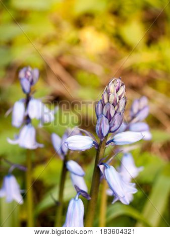 A Close Up Of A Bluebell In Spring Swaying In The Heat Of Sunset Haze And Blossoming And Blooming