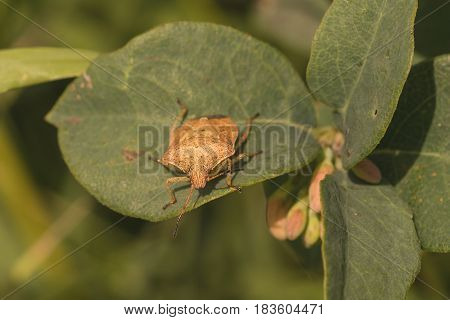 Front view of a large brown stink bug resting on a leaf.