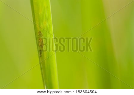 Macro of aphids on a single blade of grass.
