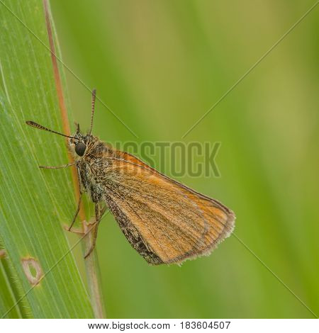 Macro of a European Skipper resting on a blade of grass.
