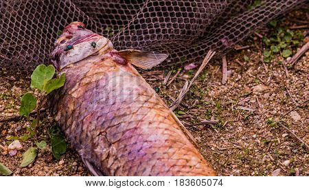 Flies feasting on the carcass of dead fish laying on the ground next to a black fishing net.