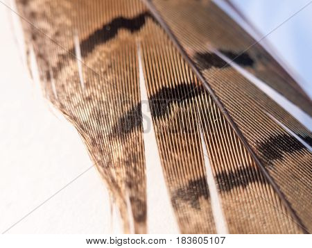 Close Up Of Pheasant Feather With Pattern Pretty And Texture