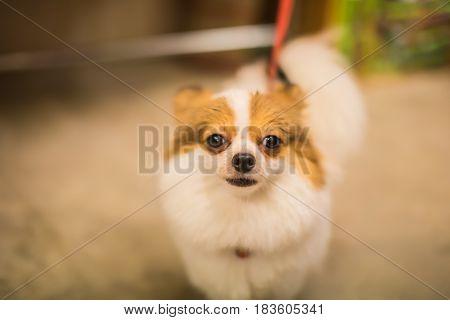 Shisu pet dog cute,Small cute dog on ground