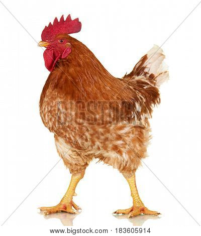 Rooster on white background, isolated object, live chicken, one closeup farm animal