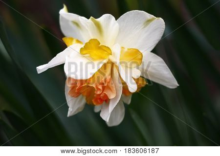 Narcissus flower difficult under the form and color. A background from leaves with an indistinct contour.