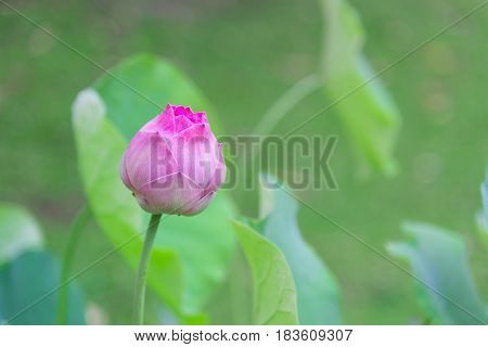 Pink Indian Lotus With Green Leaf Background, Lotus Is Logo Of Spa And Buddhism In Asia. Nelumbo Nuc