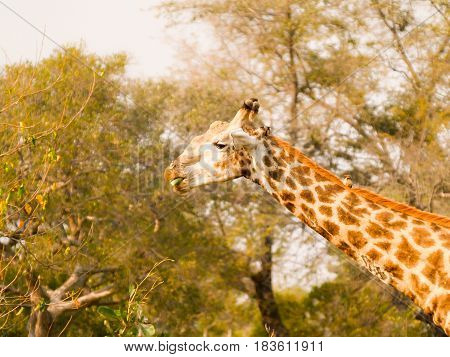 Giraffe image of neck and head munching on green stork and showing the animals skin pattern and coloration.