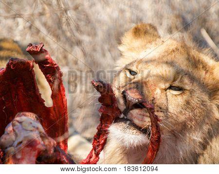Lioness ating killed kudu antelope picking through the ribs.