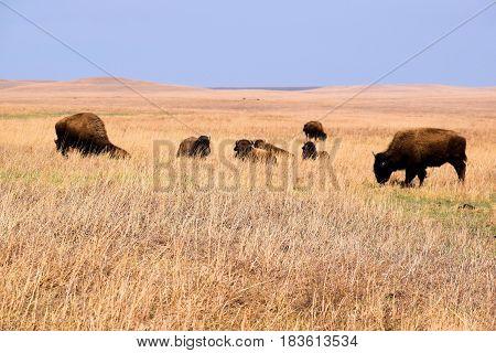 Buffalo roaming rural vast grasslands taken on the Tallgrass Prairie National Preserve in the Kansas Plains