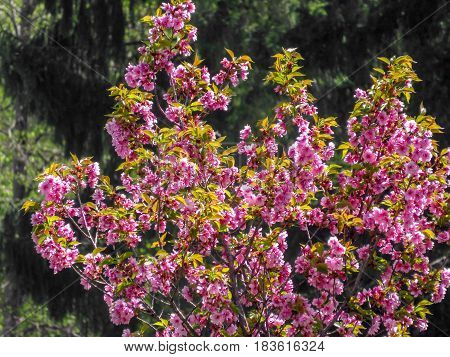 Blossoming Cercis Tree