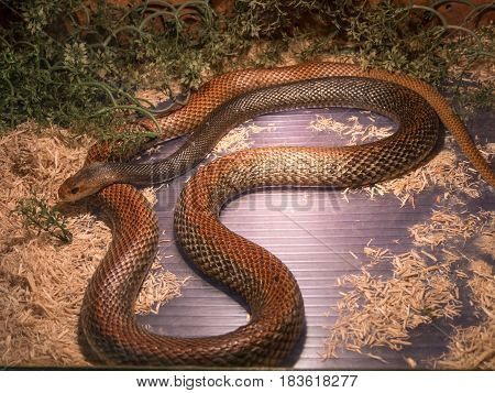 The Taipan is considered to be one of the most dangerous snakes in the world. These are giant (4 m) fastnervous and highly venomous snakes found in Australia and Papua New Guinea.