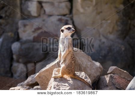Surikata Suricata suricatta. Small african mammal meerkat or suricate watching out for danger