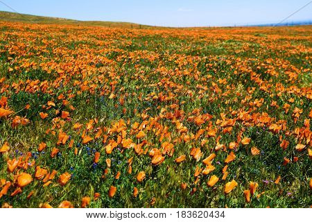 Windswept grasslands with Poppy Wildflowers during spring taken at a rural prairie in Central California