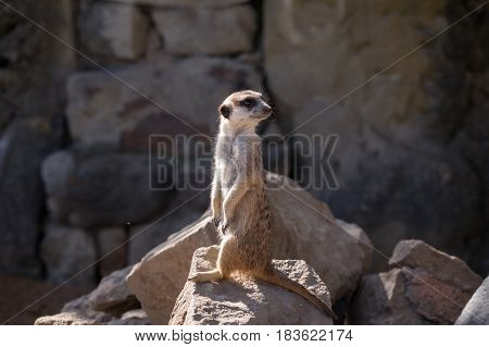 Surikata Suricata suricatta. Small african mammal meerkat or suricate watching out for dange