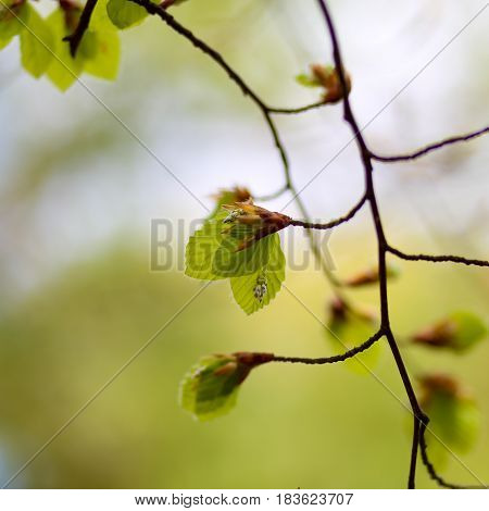 Fresh Spring Leaves Of A Common Beech (fagus Sylvatica)
