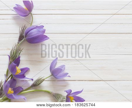 Pasque flowers on a white wooden background