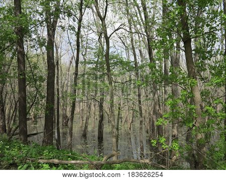 Marsh or wetland swamp habitat in spring bordering Starved Rock State Park along path following Bridge Over the Illinois River