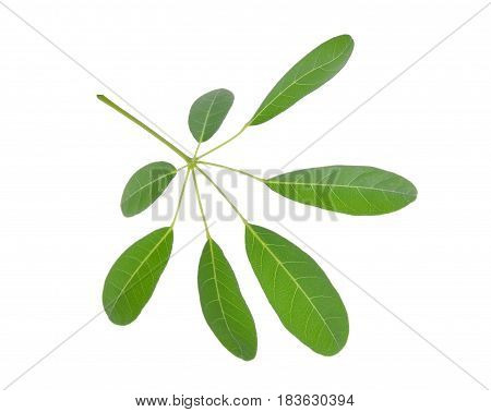 green leaf (Cerbera odollam Gaertn) isolated on white background