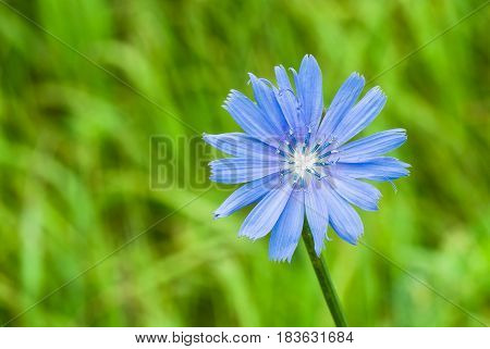 Beautiful chicory flower against an abstract natural background.