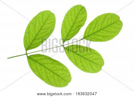 Small branch of acacia with fresh leaves isolated on white background.